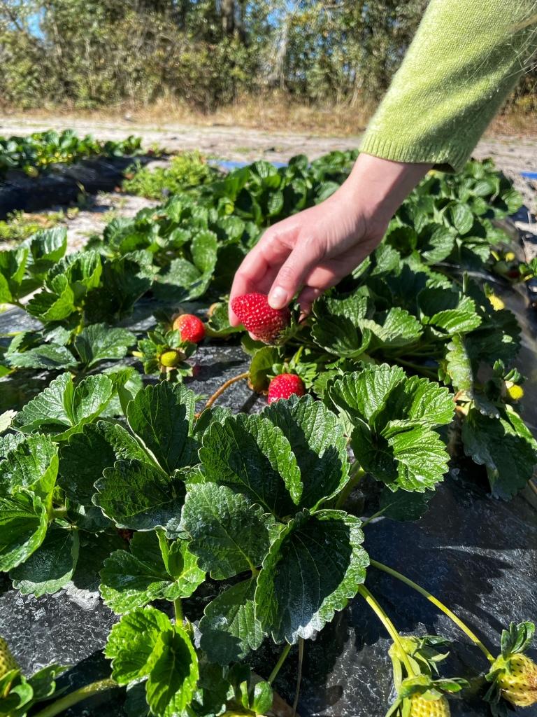 Picking a strawberry
